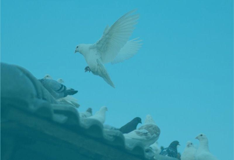 Die drei Sprachen Tauben auf dem Dach