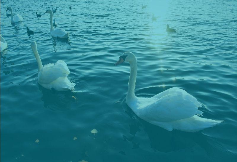 Die sechs Schwäne auf dem Wasser